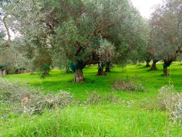 Agropoli – zona Moio – Terreno con uliveto vista mare