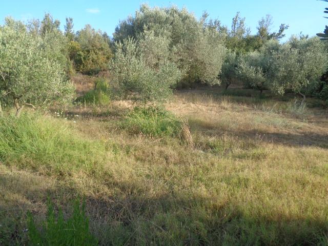 Capaccio – Ponte Barizzo – terreno di un ettaro con 200 piante di olivo